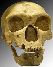 Neandertaler Schädel